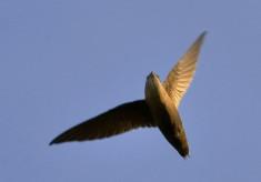 Swifts, 2013