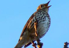 Bird song, 2014