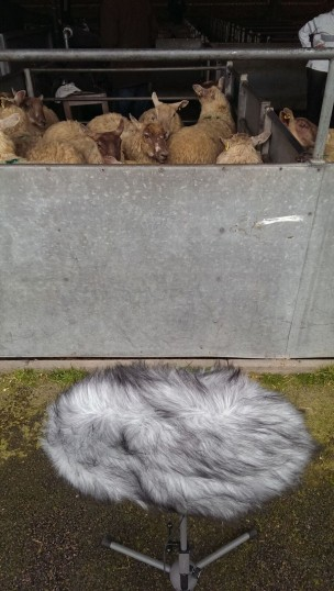 Sheep in the pens before being weighed. | Stuart Bowditch