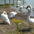 Silent swans, River Crouch, South Woodham Ferrers, 2016