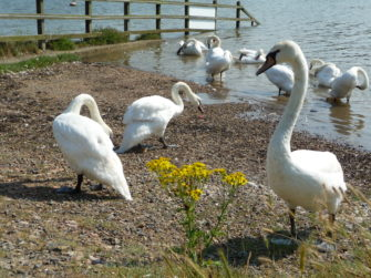 Swans on the River Crouch, South Woodham Ferrers | Stuart Bowditch
