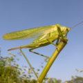 Great Green Bush-crickets, Jaywick, 2016