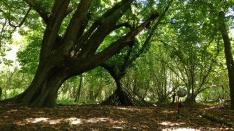 Horse Chestnut in Hatfield Forest | Stuart Bowditch