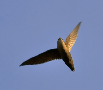 Photograph of chimney swift in flight against sky background | Jim McCulloch