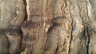 Detail of a dead Oak tree at Mundon, Essex. | Stuart Bowditch
