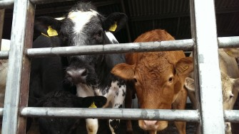 Cows waiting in pens before being auctioned. | Stuart Bowditch