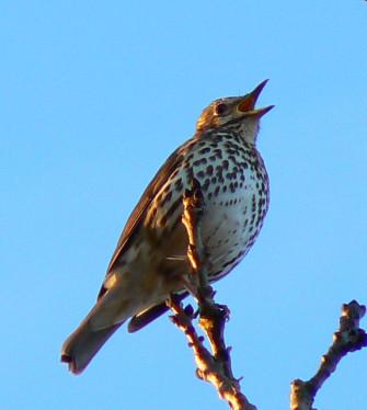 Photograph of song thrush singing against blue sky | Brian Robert Marshall