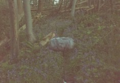 Dawn chorus in Norsey Woods, A, 2016