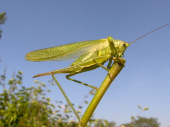 Photograph of great green bush cricket perched on plant stem | Daniel Ruprecht