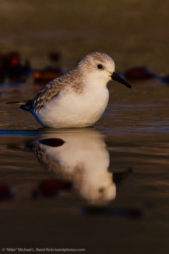 Photograph of sanderling in water